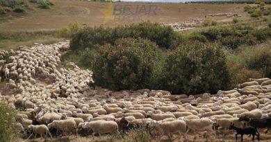 ovejas trashumando por vía pecuaria