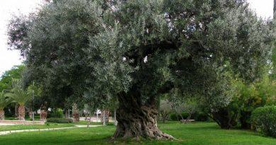 Se constituye una Plataforma Ciudadana para la defensa de los olivos centenarios en San Esteban de la Sierra